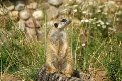 The meerkat or suricate Stock Photography