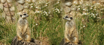 The meerkat or suricate Royalty Free Stock Photography
