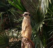 The meerkat or suricate Royalty Free Stock Image