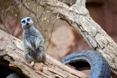 Meerkat - Suricate Stock Photography