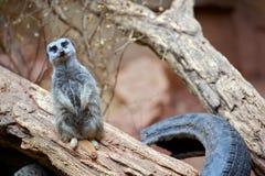 Meerkat - Suricate Stock Photography