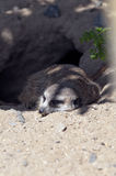 A Meerkat or suricate Stock Image