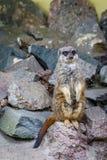 Meerkat或suricate 库存图片