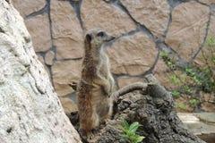 Meerkat, suricate Fotos de Stock Royalty Free