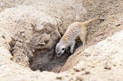 Meerkat或suricate 免版税库存照片