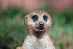 Meerkat/Suricate Royalty Free Stock Photos