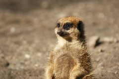 Meerkat (suricate) Photo stock