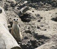 Meerkat (Suricate) Zdjęcia Stock