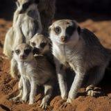 Meerkat ή suricate Στοκ εικόνα με δικαίωμα ελεύθερης χρήσης