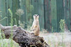 Meerkat, suricate Stockfoto