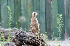 Meerkat, suricate Fotografia de Stock