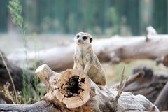 Meerkat, suricate Stockbild