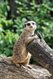 Meerkat, suricate στοκ εικόνα με δικαίωμα ελεύθερης χρήσης