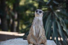 Meerkat suricate 库存照片