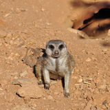 Meerkat suricate animal closeup Royalty Free Stock Photos