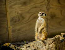 Meerkat suricate bij dierentuin Stock Afbeelding