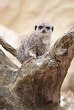 Meerkat (Suricate) on a branch. View of a meerkat (suricate) in a zoo in Paris France with blurred background stock images