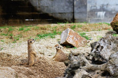 Meerkat or suricate in captivity Stock Photos
