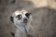 Meerkat (Suricate) Close-up Royalty Free Stock Photo