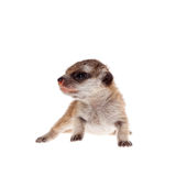 The meerkat or suricate cub, 2 weeks old, on white. The meerkat or suricate cub, Suricata suricatta, isolated on white Royalty Free Stock Photo