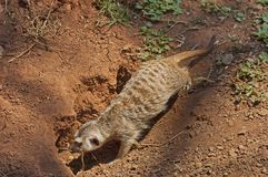 Meerkat or suricate dig a hole in earth Royalty Free Stock Image