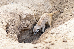Meerkat or suricate Royalty Free Stock Photo