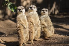 Meerkat,suricate family. Stock Images
