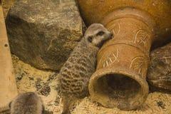 Meerkat (suricate) Family, Kalahari, South Africa Stock Photo