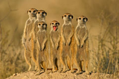 Meerkat (suricate) family, Kalahari, South Africa. Meerkat or suricate (Suricata suricatta) family, Kalahari, South Africa stock photography