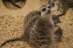 Meerkat (suricate) family, Kalahari, South Africa. Meerkat or suricate (Suricata suricatta) family, Kalahari, South Africa Stock Photo