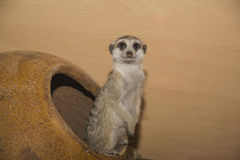Meerkat (suricate) family, Kalahari, South Africa Royalty Free Stock Photo