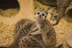 Meerkat (suricate) family, Kalahari, South Africa Royalty Free Stock Photos