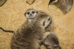 Meerkat (suricate) family, Kalahari, South Africa Stock Images