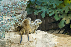 Meerkat or suricate family. A liitle suricate family with the puppies stock image