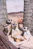 Meerkat or Suricate family (Suricata suricatta) Royalty Free Stock Images