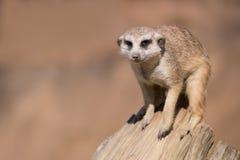 Meerkat or suricate Stock Photos