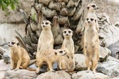 Meerkat or Suricate flock (Suricata suricatta) Royalty Free Stock Image