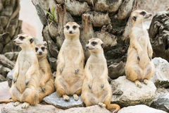 Meerkat or Suricate flock (Suricata suricatta) Stock Photos
