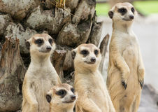 Meerkat or Suricate flock (Suricata suricatta) Royalty Free Stock Photography
