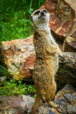 Meerkat Suricate on guard 1. Meerkat on guard at the zoo Royalty Free Stock Photos