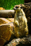 Meerkat Suricate on guard 2. Meerkat on guard at the zoo stock images
