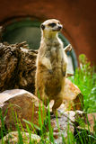 Meerkat Suricate on guard 4. Meerkat on guard at the zoo stock images