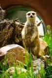 Meerkat Suricate on guard 3. Meerkat on guard at the zoo stock photography