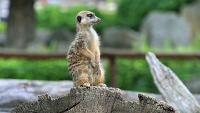 Meerkat or suricate (lat Suricata suricatta) stock footage