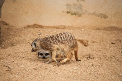 The meerkat or suricate in Lisbon Zoo Royalty Free Stock Photography