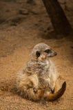 The meerkat or suricate in Lisbon Zoo Stock Photos