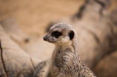 The meerkat or suricate in Lisbon Zoo Stock Images