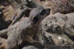 Meerkat or suricate. Lonely meerkat sitting and lookout in nature Stock Image