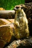 Meerkat Suricate på vakt 2 arkivbilder