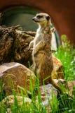 Meerkat Suricate på vakt 5 fotografering för bildbyråer